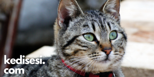 Ev Kedisini Dışarıda Gezdirmek Doğru mu?
