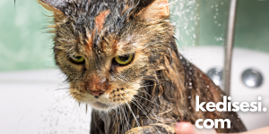 Kedilerin Sudan Hoşlanmamasının Sebepleri