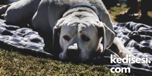 Köpeklerin Dışkısını Yemelerinin Sebepleri