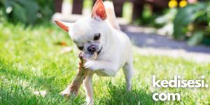 Köpeklere Kemik Vermenin Zararları Nelerdir?