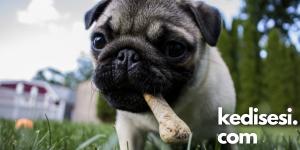 Köpeklere Kemik Vermek Zararlı mı?