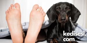 Köpekler Neden Ayak Ucumuzda Yatar?