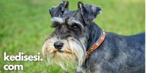Tüy Dökmeyen Köpek Cinslerinin Ortak Özellikleri
