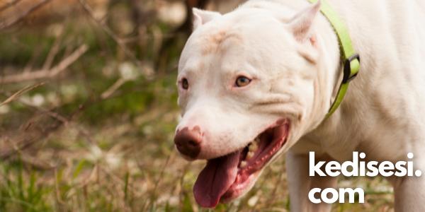 Dogo Argentino Cinsi Köpek ve Özellikleri