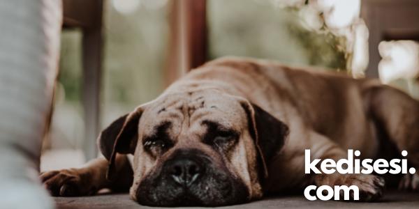 Köpeklerde Mukokutanöz Piyoderma Nedir?