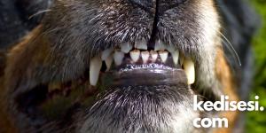Köpeklerde Mukokutanöz Piyoderma Belirtileri