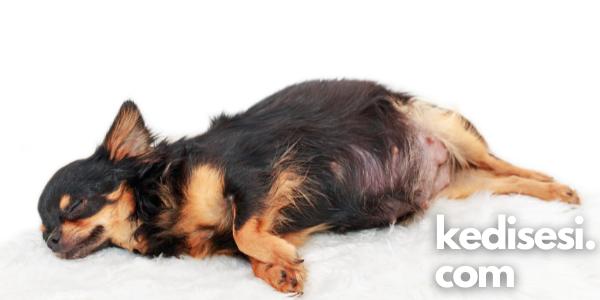 Köpeklerde Yalancı Gebelik Nedir? Neden Olur?