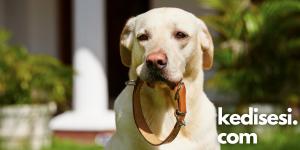 Köpek Tasması Çeşitleri Nelerdir?