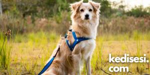 Köpek Tasması Seçimi Nasıl Olmalıdır?